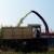 Šumadijski kukuruz u silaži - zrna manje, ali je slađe
