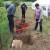 Zakopaj rog punjen balegom, kvarcom, travama i korovima pa prskaj biljke i zemlju