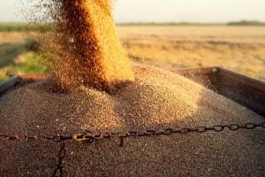 Izvoz bugarskog kukuruza raste, a pšenice opada