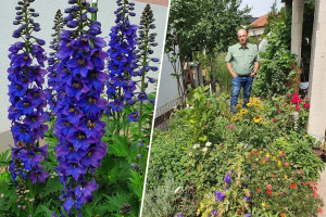 Muris Pašanović: Delfinijum je kralj cvijeća, a nije ga teško uzgajati