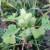 Obična dikica i na našim poljima, u SAD glavni korov u soji i kukuruzu