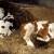 """Kako i zašto krave """"jedu"""" same sebe?"""