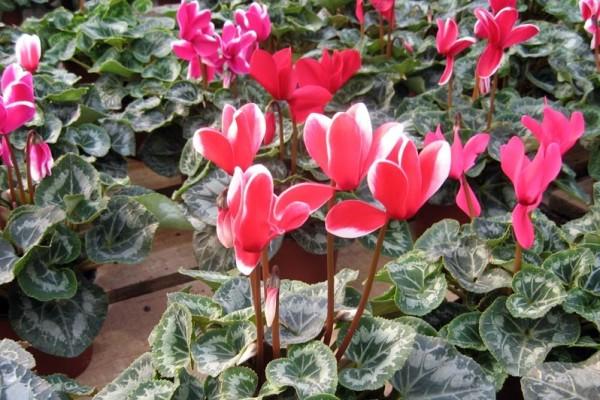 Ciklama - zahtevna nežna dama među cvećem