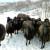 Autohtona karakačanska ovca i dalje opstaje u Srbiji