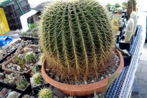 Dane Čudić vlasnik više od 1.000 vrsta kaktusa