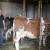 Otkup sirovog mleka pod lupom novog Pravilnika