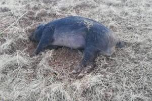Neven Jurjević: Lovce koji su pucali na crne slavonske svinje izbacujemo iz udruge!