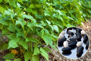 Ljubica Palček uzgaja desetke vrsta eko povrtnica, a najzanimljiviji je crni grah