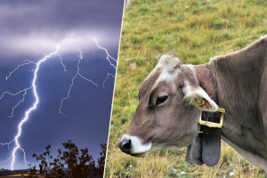 Grom ubio dvije krave u staji u Ćavarovom Stanu