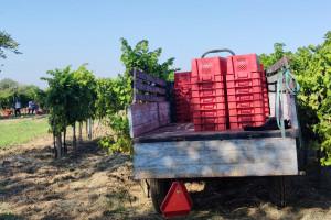 Europu čeka povijesno niska proizvodnja vina