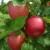 Nova sorta jabuke Ivana: Otporna na čađavu krastavost i pepelnicu