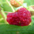 Mamci od plastične ambalaže služe za praćenje i ulov octene mušice ploda