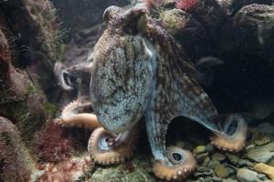 Otkriven u krivolovu: Hobotnice lovio modrom galicom!