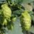 Ekspanzija zanatskog pivarstva dovela do velikog rasta proizvodnje hmelja u SAD-u