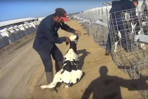 Raskrinkani: Na farmi koja proizvodi mleko za veliku korporaciju okrutno mučili telad