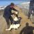 Raskrinkani: Okrutno mučili telad na farmi koja proizvodi mlijeko za veliku korporaciju