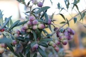 Sorta maslina Oliana – uspješno odolijeva hladnoći i paunovom oku