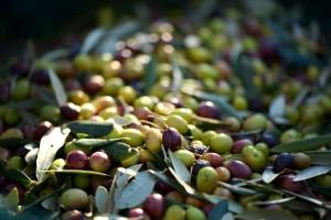 Kvaliteta maslinovog ulja je ispod prosjeka?