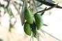 Koje su prednosti ekološkog uzgoja masline?
