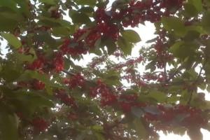 Dok drugi voćari zbrajaju štete od mraza, Davor Golub ubire plodove - u čemu je tajna?