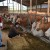 OPG Imbrišić: Računica je ključ, inovacije u hranidbi omogućile su nam visoku proizvodnju mlijeka