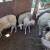 Nije teško kad se voli: Sandra (21) na svom OPG-u ima 300 ovaca, ali i krave, konje, pčele