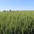 Sunčani dani pred nama pogoduju strninama u fazi formiranja zrna, ali i korovima