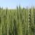 Zaoravanjem žetvenih ostataka i racionalom upotrebom đubriva spriječite infekcije žita