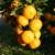 Slijedi li pilanje i vađenje stabala mandarina u punoj rodnosti?