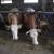 Sektoru stočarstva dodatnih 220 milijuna kuna potpora
