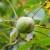Siva pegavost oraha može uništiti oko 80% plodova i uzrokovati ranu defolijaciju