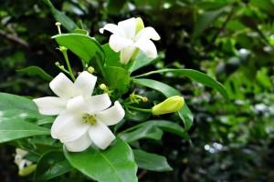 Uzgojite biljke koje mirišu na citruse