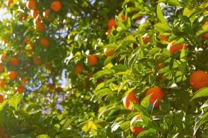 Antraknoza kosi nasade mandarina, velike štete i na lubenicama - kako je suzbiti?