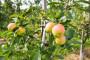 U Srbiji premalo organskih proizvođača jabuka