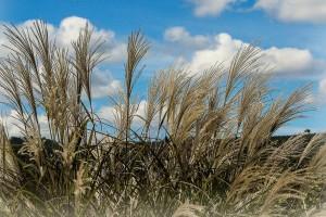 Miskantus - energetska trska pogodna za komercijalni uzgoj