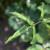 Ružina osa uvijalica narušava ljepotu kraljice cvijeća