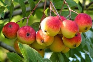 Šumske voćkarice: Čuvajmo ih, pazimo ih, jer stvarno ih je premalo
