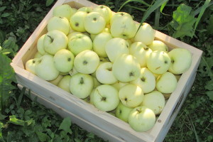 Imam 5 vagona jabuka - kako da se riješim te bijede i nagulim odavde?
