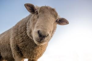 Ovce mogu razlikovati lica