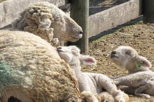 Kako pripremiti ovce za jagnjenje?