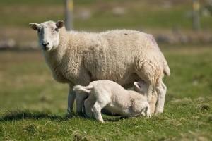 Čime hraniti ovce nakon jagnjenja?
