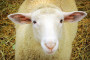 Brački ovčji sir postaje brend