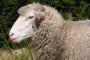 Na Cresu muku muče s 15 tona vune godišnje!