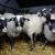 Vuna je dar od ovce i treba to da cenimo?