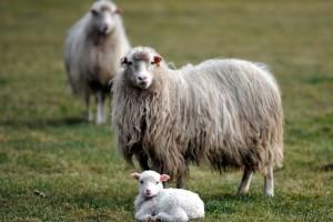 Preventivom protiv šepavosti ovaca