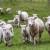 Razlozi zbog kojih se ovce izlučuju iz stada