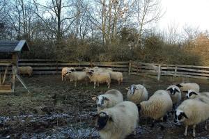 Prednosti korišćenja silaže u ishrani ovaca tokom zime