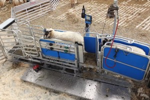 Precizno ovčarstvo: Racewell HD3 držač ovaca za brže vaganje, šišanje i kontrolu
