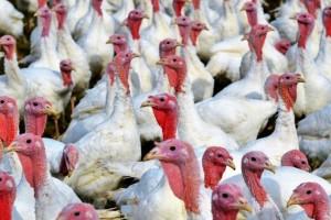 Potvrđen još jedan slučaj ptičje gripe u Njemačkoj