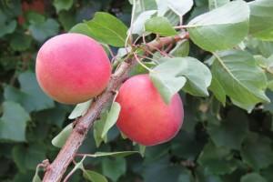 Neobično proljeće izrodilo i neobično voće: najranija kruška, trešnja s dvostrukim plodovima, papežova marelica